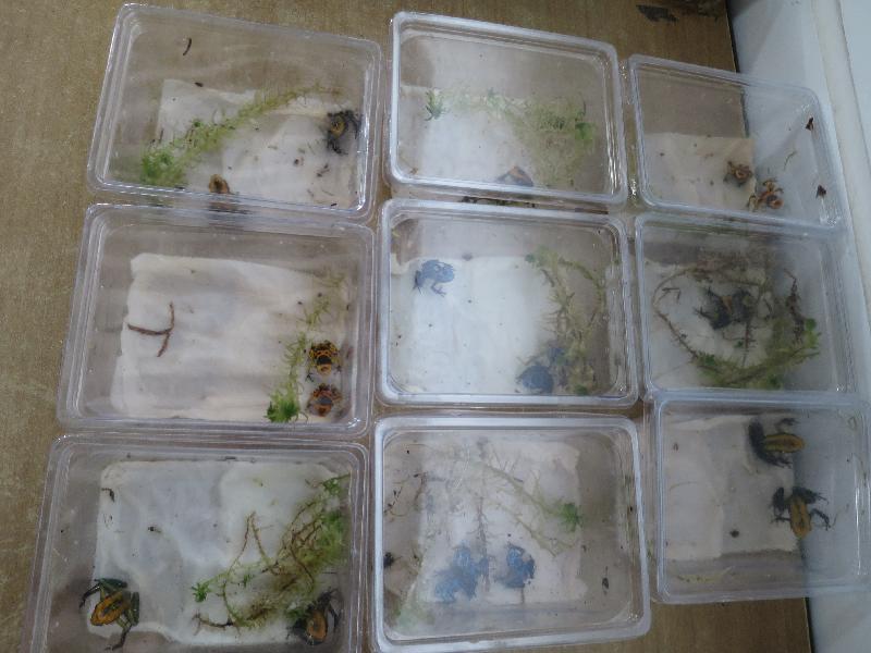 香港海關今日(十月十四日)在落馬洲管制站檢獲懷疑瀕危物種,包括二十四隻蛙類、四十六隻龜和五十二條變色龍。圖示懷疑瀕危蛙類。
