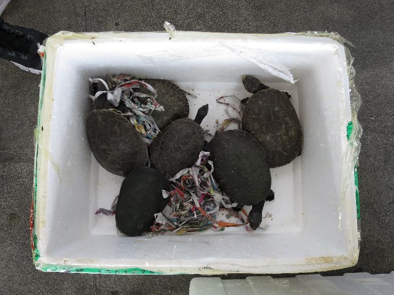 香港海關今日(十月十四日)在落馬洲管制站檢獲懷疑瀕危物種,包括二十四隻蛙類、四十六隻龜和五十二條變色龍。圖示懷疑瀕危龜隻。
