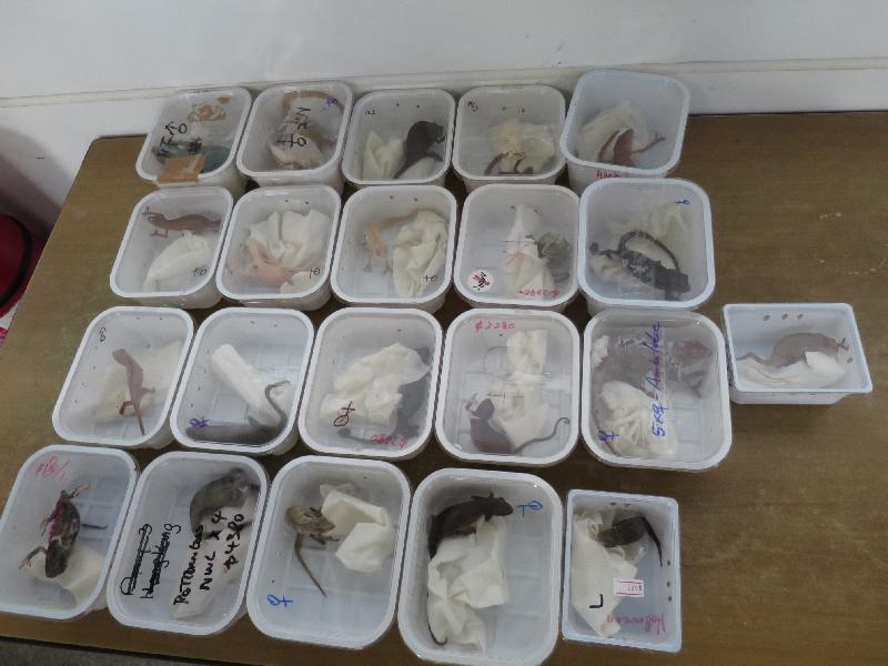 香港海關今日(十月十四日)在落馬洲管制站檢獲懷疑瀕危物種,包括二十四隻蛙類、四十六隻龜和五十二條變色龍。圖示懷疑瀕危變色龍。