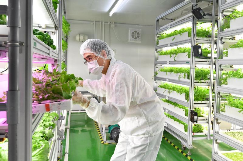 漁農自然護理署與蔬菜統營處合作設立的「全環控水耕研發中心」(水耕中心)今日(三月九日)介紹新品種水耕菜。圖示人員在水耕中心的栽培區內工作。