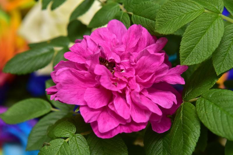 二零一七年香港花卉展覽現於維多利亞公園舉行,市民可於會場近糖街入口的「特色植物及食用植物」展品攤位,認識不同品種的玫瑰。圖中的永登玫瑰是中國蘭州市的市花,早於二百多年前已有栽培。這個品種花繁汁多,花油清香純正,常用於製作食品和提煉精油。