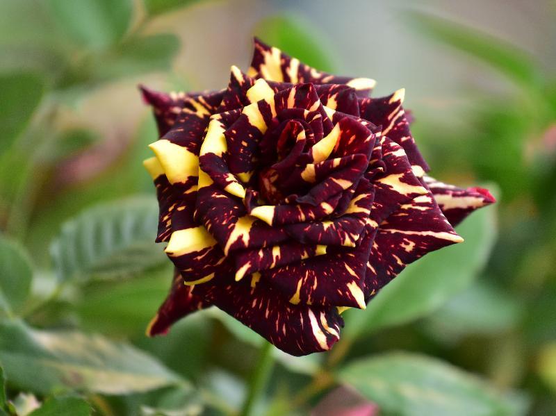 二零一七年香港花卉展覽現於維多利亞公園舉行,市民可於會場近糖街入口的「特色植物及食用植物」展品攤位,認識不同品種的玫瑰,包括美國培植的流星雨玫瑰。
