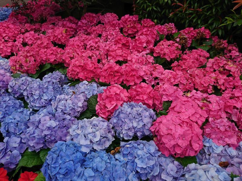 康樂及文化事務署四月九日(星期日)在深水埗區舉辦「玩轉公園日——春日賞繪@荔枝角公園」,費用全免,歡迎市民即場參加。園藝導師會帶領花卉導賞的參加者遊覽荔枝角公園,觀賞和認識園內不同種類的花卉和植物。圖示栽種在公園內的繡球花。