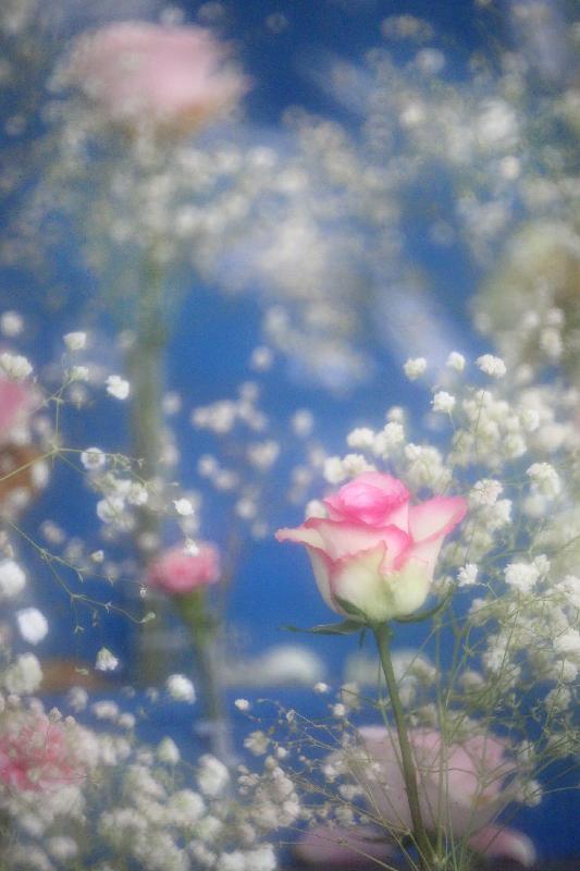 香港花卉展覽的「愛‧賞花」攝影比賽優勝作品由今日(六月十五日)至七月十五日,上午七時至晚上十一時在九龍公園拱廊展出,歡迎市民免費參觀。圖為花卉攝影組冠軍作品。得獎者為郭志容。