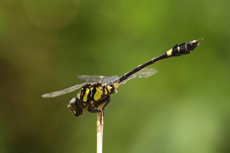 沙羅洞是山林濕地,被譽為蜻蜓天堂,錄得的蜻蜓品種數目是全港之冠。圖示具保育價值的克氏小葉春蜓。