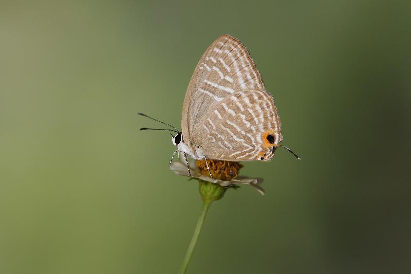 沙羅洞是香港重要的蝴蝶生境。圖示本地非常稀有的素雅灰蝶。