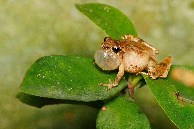 漁農自然護理署明日(六月二十三日)至六月二十六日在荃灣愉景新城中央公園舉行「郊野40」巡迴展。圖為由著名攝影師蘇毅雄拍攝的盧氏小樹蛙相片。