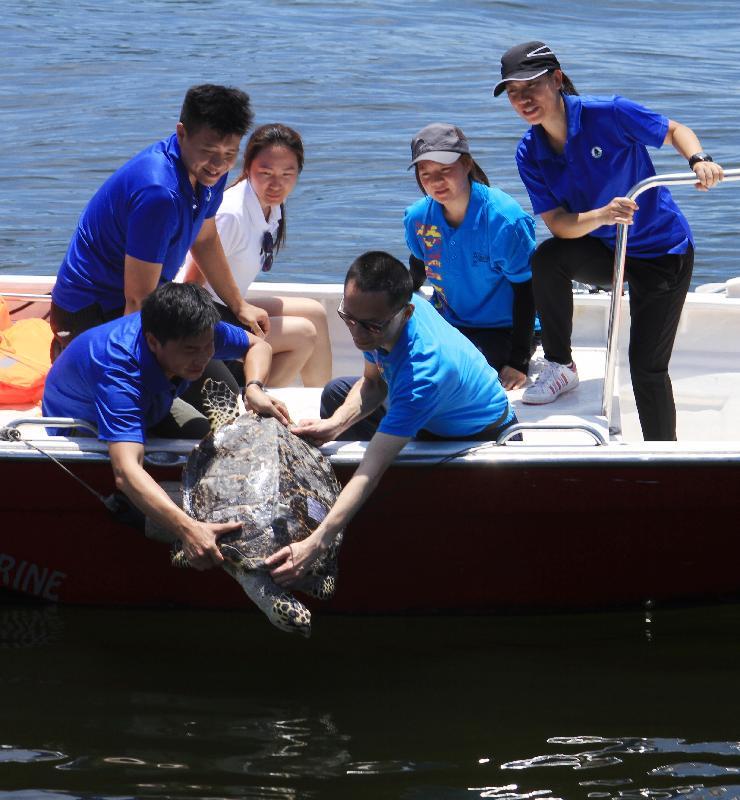 漁 農 自 然 護 理 署 今 日 ( 六 月 二 十 九 日 ) 在 香 港 南 面 水 域 放 流 十 隻 綠 海 龜 及 一 隻 玳 瑁 。 圖 示 玳 瑁 準 備 回 歸 大 海 。