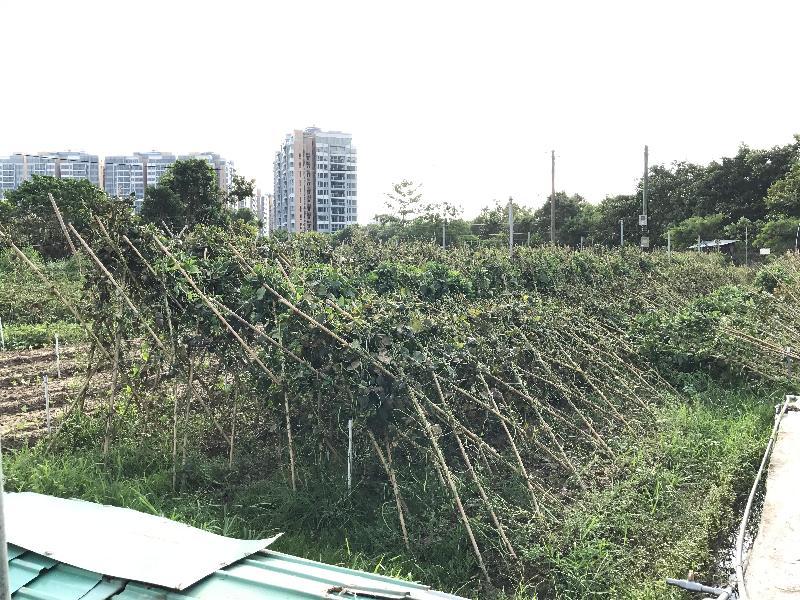 漁 農 自 然 護 理 署 署 長 梁 肇 輝 博 士 今 日 ( 八 月 二 十 四 日 ) 下 午 視 察 受 颱 風 天 鴿 影 響 的 農 田 及 魚 塘 。 圖 示 一 個 位 於 逢 吉 鄉 的 農 田 受 颱 風 影 響 , 損 毀 嚴 重 。