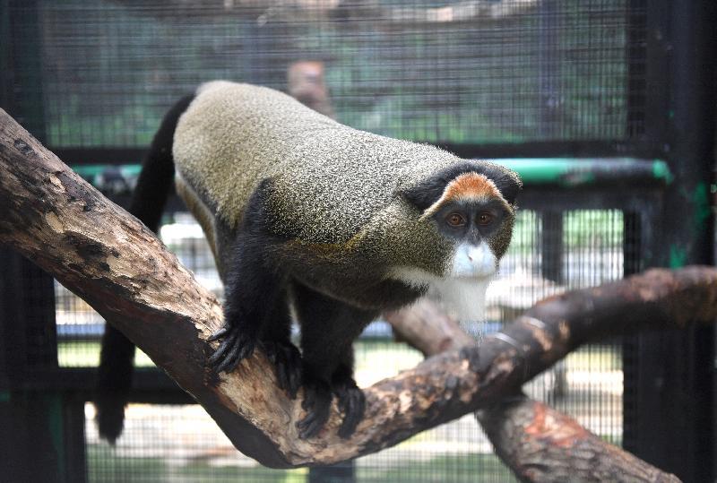 香港動植物公園十月一日及二日一連兩日舉辦「動物護理聚談」活動,市民可以近距離觀賞不同的靈長類動物和雀鳥。圖為園內的白臀長尾猴。