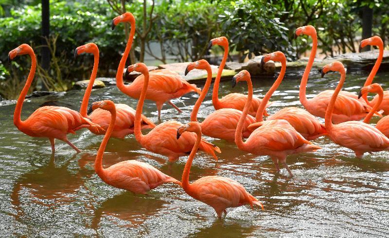 香港動植物公園十月一日及二日一連兩日舉辦「動物護理聚談」活動,市民可以近距離觀賞不同的靈長類動物和雀鳥。圖為園內的美洲紅鸛。