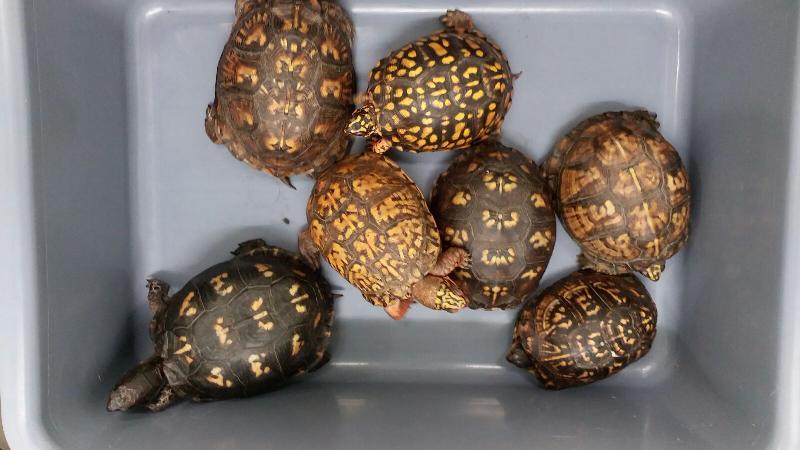 香港海關昨日(十月二十五日)在深圳灣管制站檢獲七隻懷疑屬瀕危物種的活箱龜,估計市值約一萬四千元。