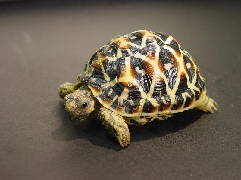 渔 农 自 然 护 理 署 及 香 港 海 关 今 日 ( 二 月 九 日 ) 提 醒 离 港 旅 游 人 士 , 返 港 时 切 勿 携 带 未 领 有 所 须 许 可 证 的 濒 危 动 植 物 。 图 为 印 度 星 龟 。