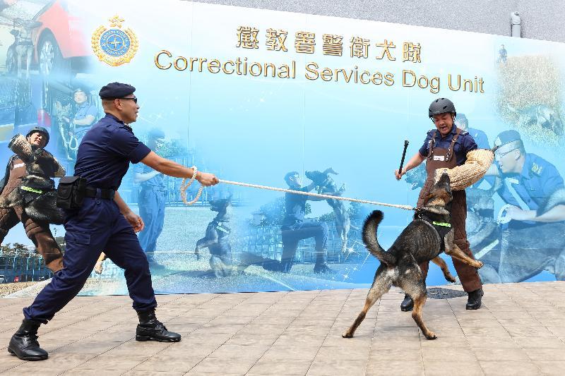 懲教署今日(二月二十七日)舉行周年記者會,回顧該署去年的工作。圖示懲教署警衞犬隊領犬員及昆明犬示範不同動作。