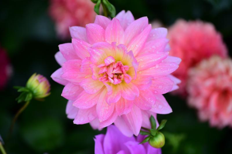 每年一度的賞花盛事香港花卉展覽今日(三月十六日)在維多利亞公園開幕,展出約四十萬株花卉,包括約四萬株主題花「大麗花」。圖為睡蓮型大麗花。