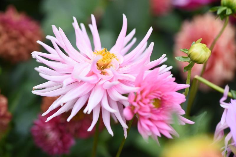 每年一度的賞花盛事香港花卉展覽今日(三月十六日)在維多利亞公園開幕,展出約四十萬株花卉,包括約四萬株主題花「大麗花」。圖為仙人掌型大麗花。