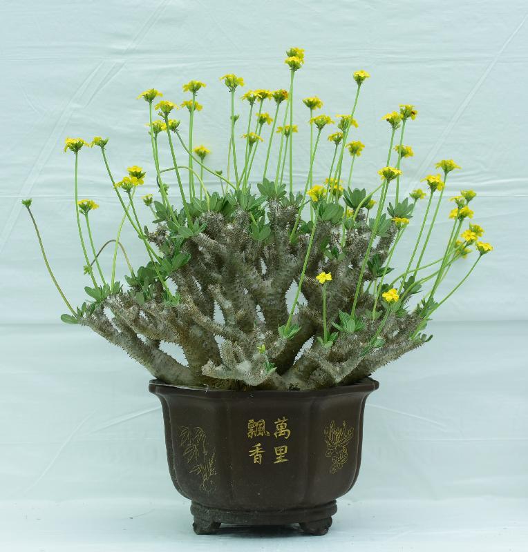 香港花卉展覽主要活動之一的花卉及植物展品比賽今日(三月十七日)公布得獎名單。圖為公開組全場總冠軍展品。