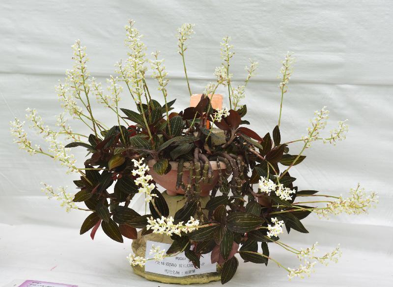 香港花卉展覽主要活動之一的花卉及植物展品比賽今日(三月十七日)公布得獎名單。今屆學校組有兩個全場總冠軍,圖為般咸道官立小學的得獎展品珠寶蘭。
