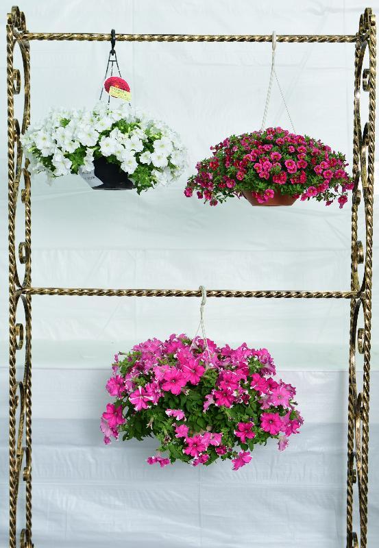 香港花卉展覽主要活動之一的花卉及植物展品比賽今日(三月十七日)公布得獎名單。今屆學校組有兩個全場總冠軍,圖為十八鄉鄉事委員會公益社中學的得獎吊籃植物。