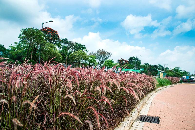 洪福邨內種植了不少草本植物,例如狼尾草等,營造昔日稻田處處的感覺。