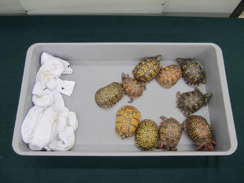香港海關與漁農自然護理署於六月十八日至八月二十五日期間,進行代號「守衞者」的聯合執法行動,在機場、港口、陸路及鐵路管制站加強打擊走私瀕危物種的活動。圖示檢獲的活龜。