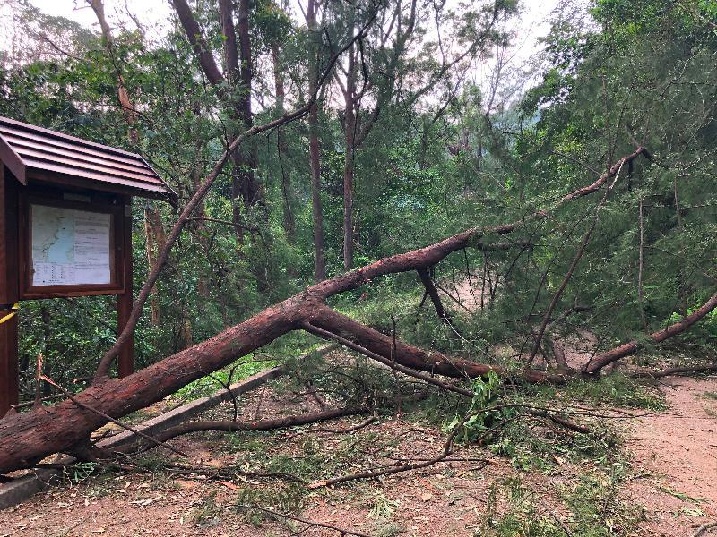 由於超強颱風山竹影響,漁農自然護理署管理的郊野公園及香港聯合國教科文組織世界地質公園的遠足徑、康樂場地及郊遊設施均受到廣泛破壞及塌樹阻塞。圖示颱風過後在郊野公園的塌樹。