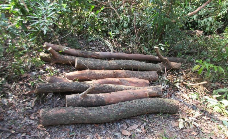 由於超強颱風山竹影響,漁農自然護理署(漁護署)管理的郊野公園及香港聯合國教科文組織世界地質公園的遠足徑、康樂場地及郊遊設施均受到廣泛破壞及塌樹阻塞。漁護署人員在颱風過後在郊野公園清理塌樹,務求盡快重新開放有關設施供市民使用。圖示一些塌樹的部分被堆放於附近的自然生境,分解後會轉化成養分回歸自然。