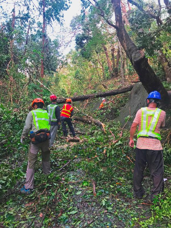 由於超強颱風山竹影響,漁農自然護理署(漁護署)管理的郊野公園及香港聯合國教科文組織世界地質公園的遠足徑、康樂場地及郊遊設施均受到廣泛破壞及塌樹阻塞。圖示漁護署人員在颱風過後在郊野公園清理塌樹,務求盡快重新開放有關設施供市民使用。