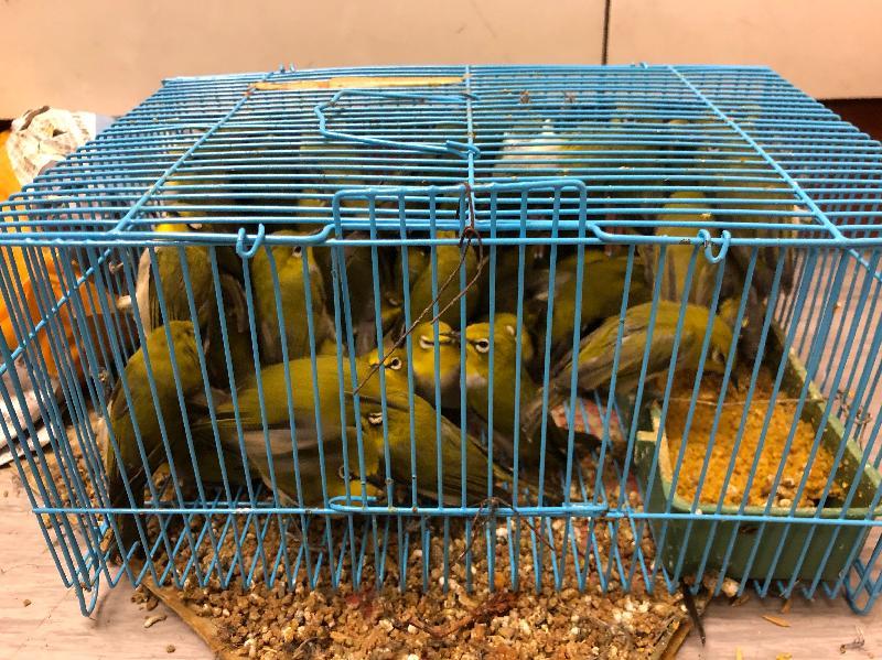 香港海關今日(十二月十八日)在落馬洲管制站檢獲九十六隻懷疑非法進口活禽鳥,估計市值約一萬元。
