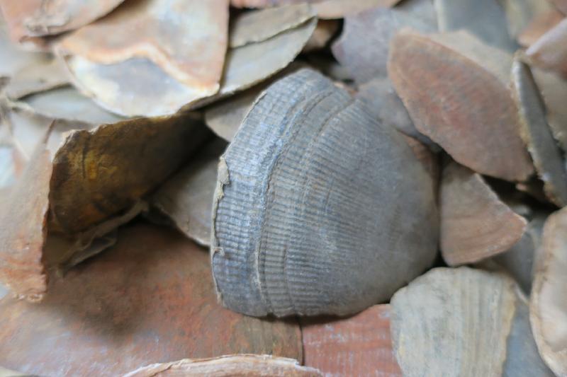 漁 農 自 然 護 理 署 及 香 港 海 關 今 日 ( 一 月 三 十 一 日 ) 提 醒 離 港 旅 遊 人 士 , 返 港 時 切 勿 攜 帶 未 領 有 所 須 許 可 證 的 瀕 危 動 植 物 。 圖 為 穿 山 甲 鱗 片 。