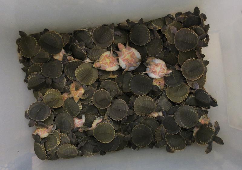 漁 農 自 然 護 理 署 及 香 港 海 關 今 日 ( 一 月 三 十 一 日 ) 提 醒 離 港 旅 遊 人 士 , 返 港 時 切 勿 攜 帶 未 領 有 所 須 許 可 證 的 瀕 危 動 植 物 。 圖 為 豬 鼻 龜 。