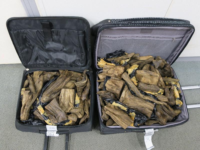 兩 名 旅 客 因 走 私 沉 香 木 , 今 日 ( 二 月 八 日 ) 在 區 域 法 院 被 判 罪 名 成 立 和 判 處 監 禁 。 圖 示 海 關 人 員 於 二 ○ 一 八 年 八 月 十 六 日 , 在 香 港 國 際 機 場 其 中 一 名 旅 客 的 行 李 檢 獲 的 沉 香 木 。