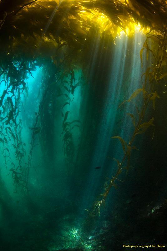香港太空館明日(三月一日)起上映全新一齣全天域電影《繽紛藍海》。圖示《繽紛藍海》的劇照。在陽光充沛和養分豐富的上升水流下,北美洲西岸的巨形海藻每天可生長60厘米。