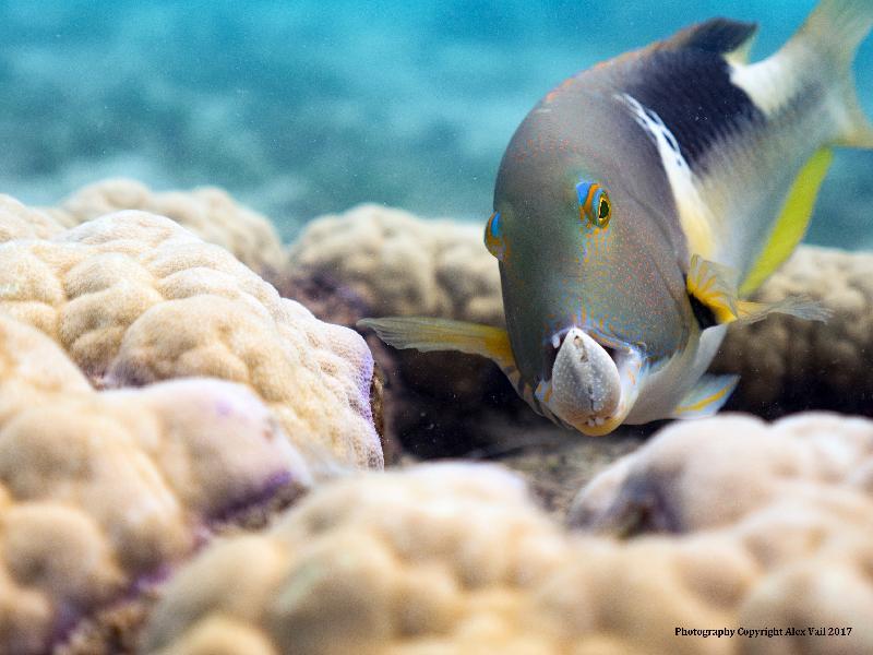 香港太空館明日(三月一日)起上映全新一齣全天域電影《繽紛藍海》。圖示《繽紛藍海》的劇照。豬齒魚利用珊瑚作為工具,不斷把蜆撞向珊瑚,最終打碎蜆的外殼,享用美食。