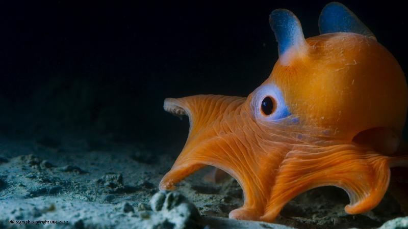 香港太空館明日(三月一日)起上映全新一齣全天域電影《繽紛藍海》。圖示《繽紛藍海》的劇照。小飛象八爪魚的外表如其名,有一對像耳朵的鰭幫助牠在水中暢泳。