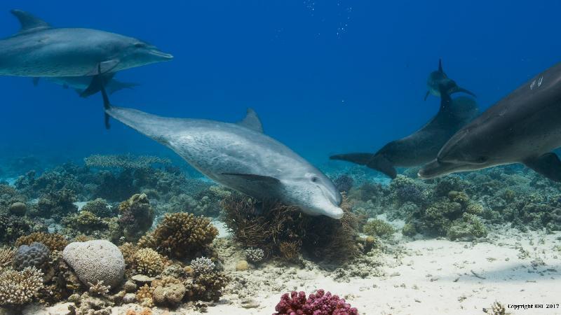 香港太空館明日(三月一日)起上映全新一齣全天域電影《繽紛藍海》。圖示《繽紛藍海》的劇照。部分樽鼻海豚會用柳珊瑚摩擦身體。柳珊瑚表面有一層抗炎和抗菌的粘液,此舉或有助樽鼻海豚預防感染。