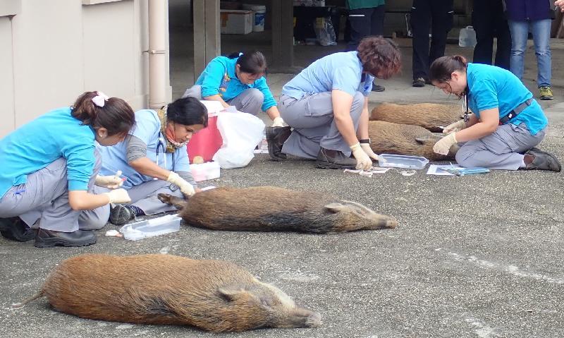 为处理野猪在市区滋扰的问题,渔农自然护理署二○一七年推出野猪捕捉及避孕/搬迁先导计划。图示先导计划行动期间为合适和身体状况良好的野猪进行避孕。