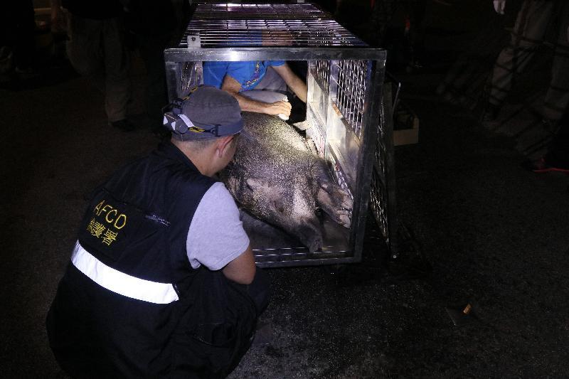 为处理野猪在市区滋扰的问题,渔农自然护理署二○一七年推出野猪捕捉及避孕/搬迁先导计划。图示先导计划行动期间为野猪进行检查。