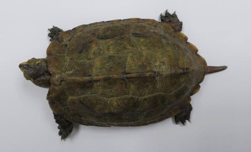 一 名 旅 客 因 走 私 日 本 地 龜 , 違 反 《 保 護 瀕 危 動 植 物 物 種 條 例 》 , 早 前 被 判 罪 名 成 立 , 今 日 ( 五 月 七 日 ) 被 判 處 監 禁 。 圖 示 其 中 一 隻 在 其 行 李 內 發 現 的 日 本 地 龜 。