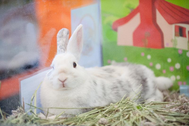 「 有 你 寵 愛 」 寵 物 領 養 日 五 月 二 十 五 日 和 二 十 六 日 舉 行 。 市 民 可 親 身 接 觸 待 領 養 的 兔 子 和 爬 蟲 類 小 動 物 , 亦 可 參 閱 待 領 養 貓 隻 的 相 片 或 影 片 。 圖 示 往 屆 寵 物 領 養 日 中 待 領 養 的 兔 子 。