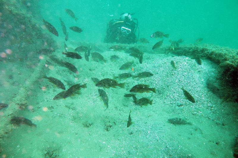 為 促 進 具 商 業 價 值 的 本 地 漁 業 物 種 的 恢 復 及 長 遠 增 加 本 地 漁 業 資 源 , 漁 農 自 然 護 理 署 昨 日 ( 六 月 五 日 ) 和 今 日 ( 六 月 六 日 ) 在 香 港 東 北 水 域 進 行 增 殖 放 流 , 投 放 約 6 000條 紅 斑 ( 赤 點 石 斑 ) 及 2 000條 石 蚌 ( 星 點 笛 鯛 ) 幼 魚 。 圖 示 已 放 流 的 石 蚌 ( 星 點 笛 鯛 ) 幼 魚 。