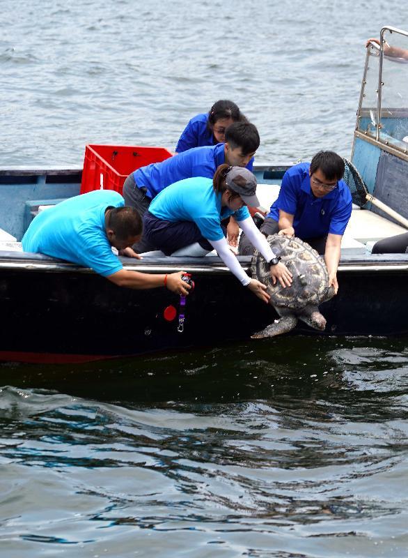 漁 農 自 然 護 理 署 今 日 ( 七 月 十 九 日 ) 於 香 港 南 面 水 域 放 流 一 隻 綠 海 龜 。 圖 示 該 隻 去 年 於 香 港 東 北 水 域 救 獲 的 綠 海 龜 回 歸 大 海 。