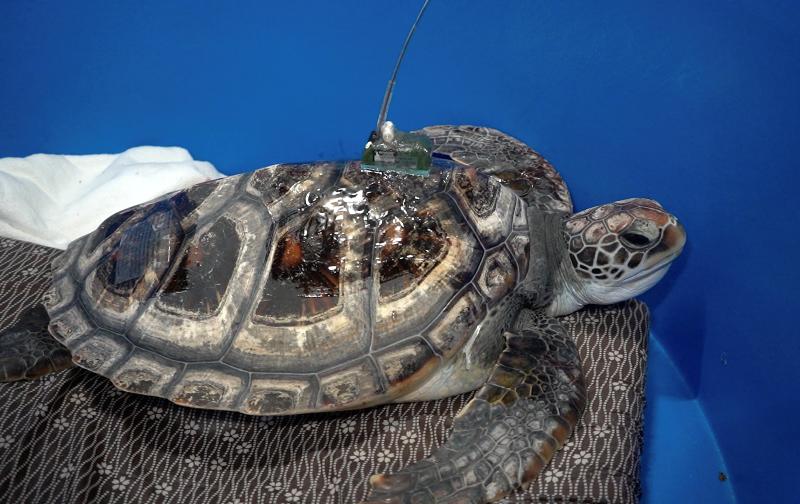 漁 農 自 然 護 理 署 今 日 ( 七 月 十 九 日 ) 於 香 港 南 面 水 域 放 流 一 隻 綠 海 龜 。 圖 示 綠 海 龜 的 背 甲 上 裝 有 衞 星 追 蹤 儀 , 以 追 蹤 牠 在 海 洋 的 動 向 及 覓 食 地 的 位 置 。