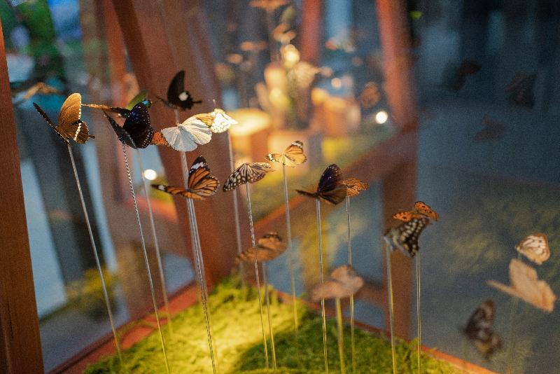漁 農 自 然 護 理 署 第 五 年 舉 行 香 港 生 物 多 樣 性 節 , 以 「 細 味 大 自 然 」 為 主 題 , 並 獲 46個 合 作 夥 伴 支 持 , 於 十 月 至 十 二 月 舉 辦 約 150項 多 姿 多 彩 的 活 動 , 藉 以 推 廣 香 港 豐 富 的 生 物 多 樣 性 。 圖 示 在 K11 Musea八 樓 Nature Discovery Park舉 行 的 「 細 味 自 然 」 生 態 展 覽 的 「 生 態 縮 影 」 ——蝴 蝶 標 本 。