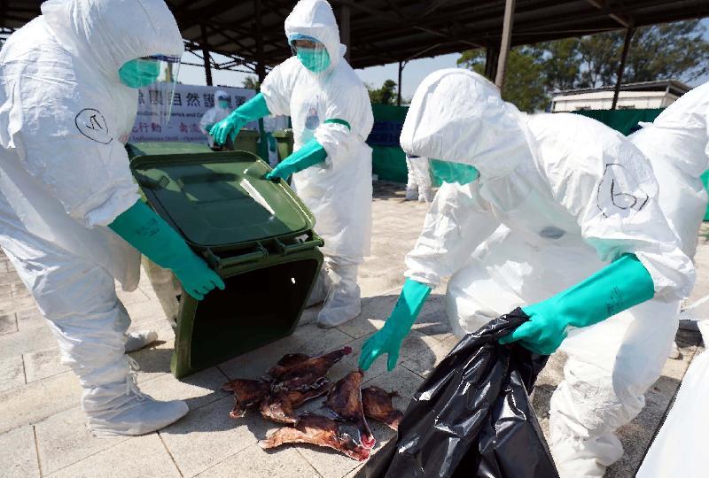 漁 農 自 然 護 理 署 今 日 ( 十 一 月 五 日 ) 舉 行 演 習 , 以 檢 視 一 旦 在 香 港 發 生 高 致 病 性 禽 流 感 需 要 銷 毀 家 禽 時 , 該 署 及 其 他 部 門 的 應 變 能 力 。 圖 示 參 與 禽 流 感 應 變 演 習 的 人 員 模 擬 銷 毀 家 禽 。
