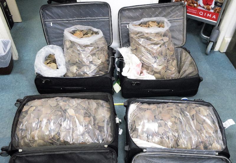 兩名旅客因走私穿山甲鱗片,違反《保護瀕危動植物物種條例》罪名成立,今日(五月十二日)被判監禁。圖示海關人員在行李中發現的穿山甲鱗片。