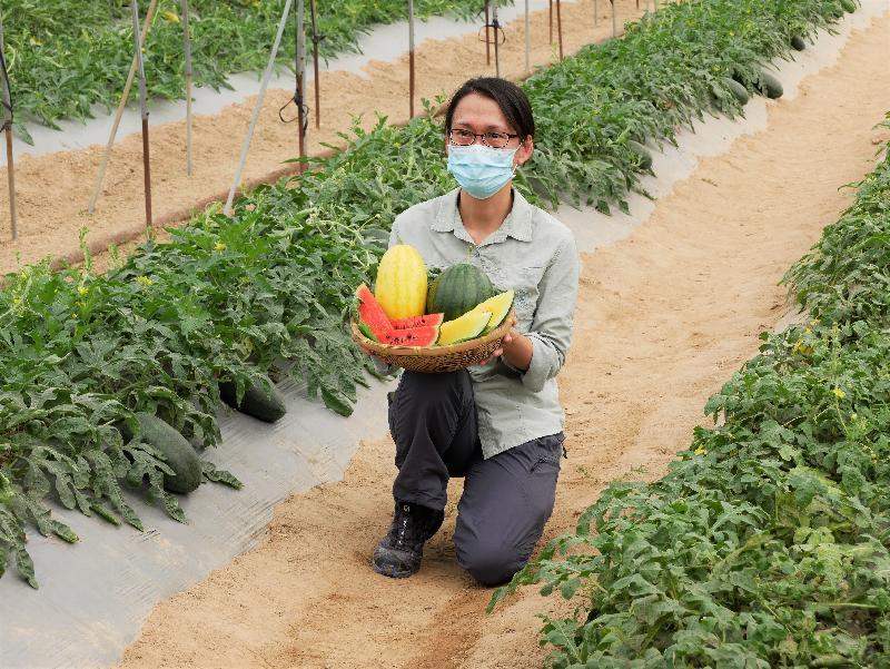 漁農自然護理署今日(六月二十四日)就本地有機西瓜節推介三個特色品種。圖示漁護署農業主任(園藝)王敏維介紹署方推廣以有機環保的方法種植的特色西瓜品種「哈密」、「超甜黑美人168」和「黛安娜」。
