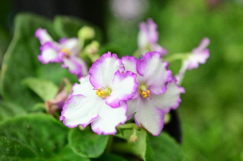 康樂及文化事務署轄下香港公園霍士傑溫室將於十二月一日起舉辦非洲紫羅蘭專題展覽,展出超過300株不同形態的非洲紫羅蘭。