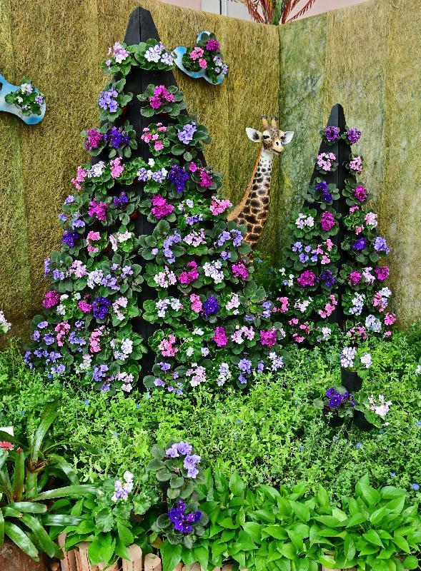 康樂及文化事務署轄下香港公園霍士傑溫室將於十二月一日起舉辦非洲紫羅蘭專題展覽,展出超過300株不同形態的非洲紫羅蘭。圖示展覽內的非洲紫羅蘭特色擺設。