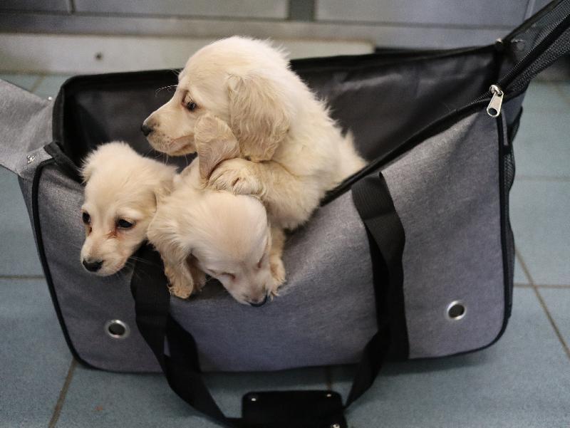 香港海關昨日(二月二十三日)在文錦渡管制站偵破一宗走私動物案件,並發現六隻懷疑走私幼犬,估計市值約十一萬元。圖示其中三隻懷疑走私幼犬。